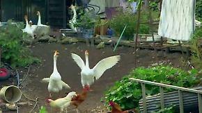 Tierhof in verseuchten Ruinen: Einzelkämpfer bleibt in Fukushima